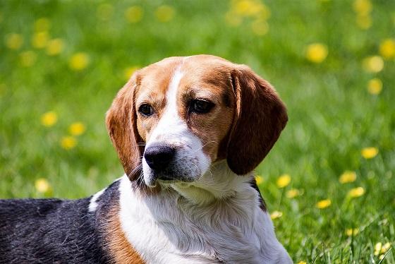 beagle kaufen